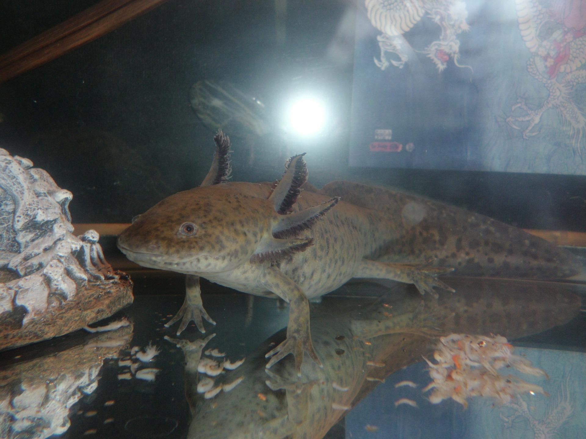 Der Axolotl ist der Klasse der Amphiben zu zuordnen