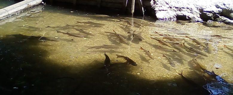 Fische im Rhein - Der Barbe