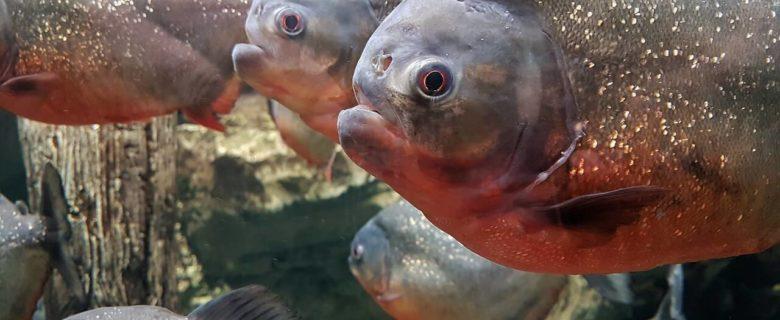 Der rote Piranha im Aquarium
