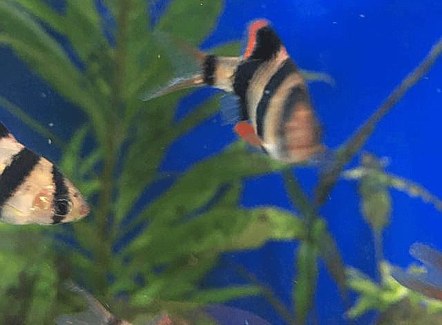 Fünfgürtelbarbe im Aquarium