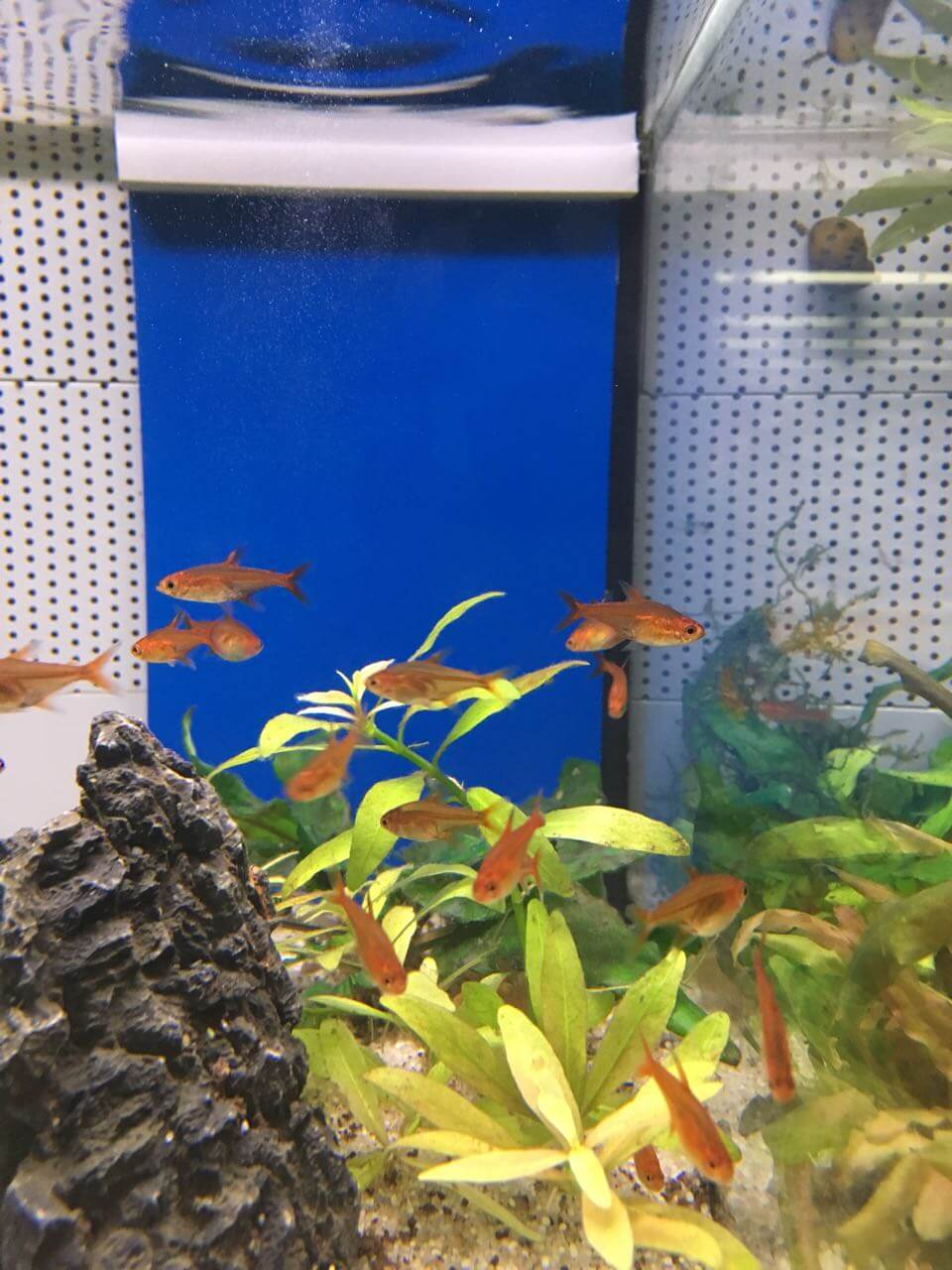 Der Funkensalmler im Aquarium