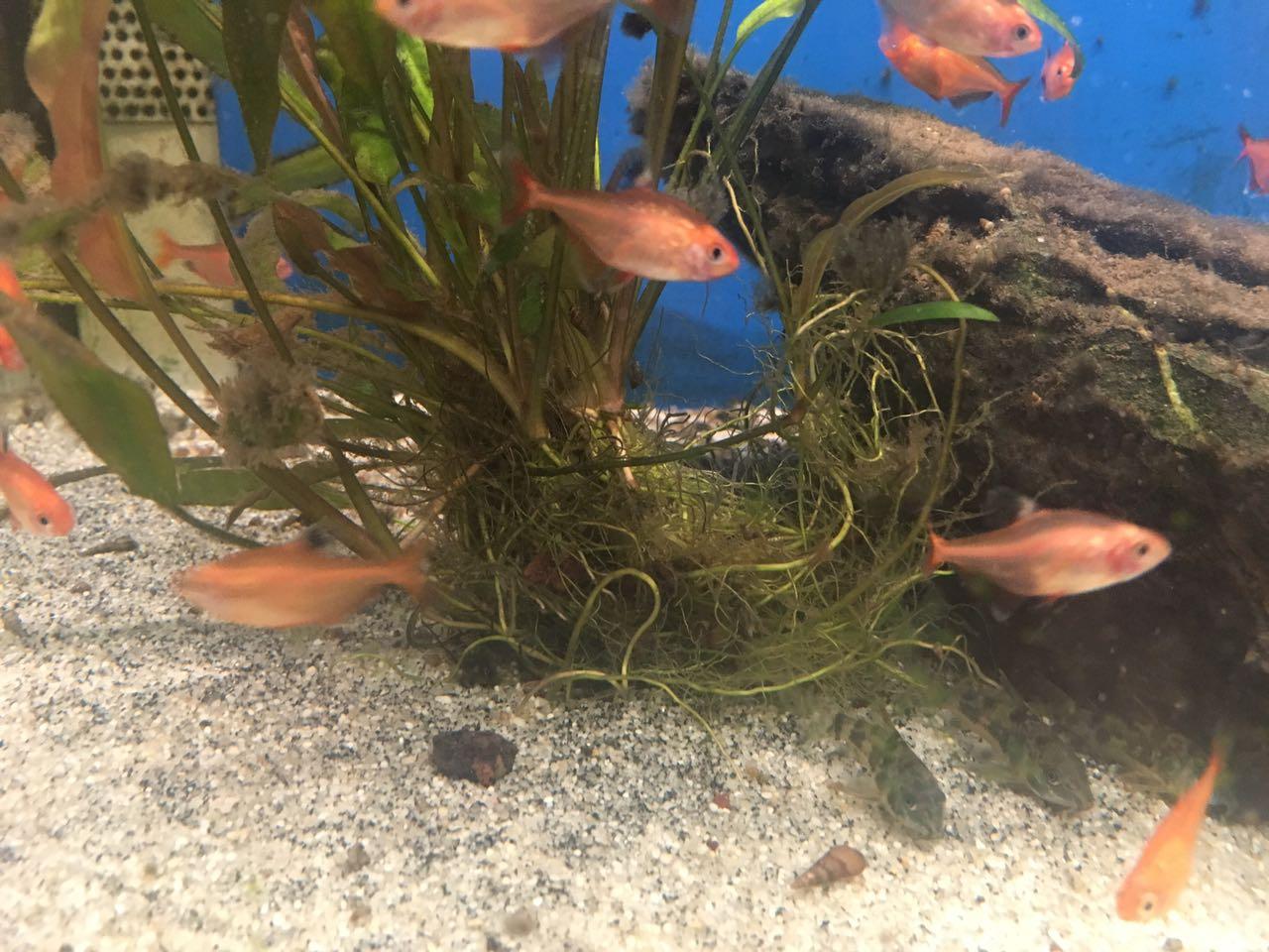 Blutsalmler im Aquarium