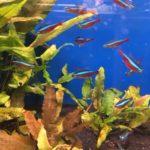 Roter Neon im Aquarium