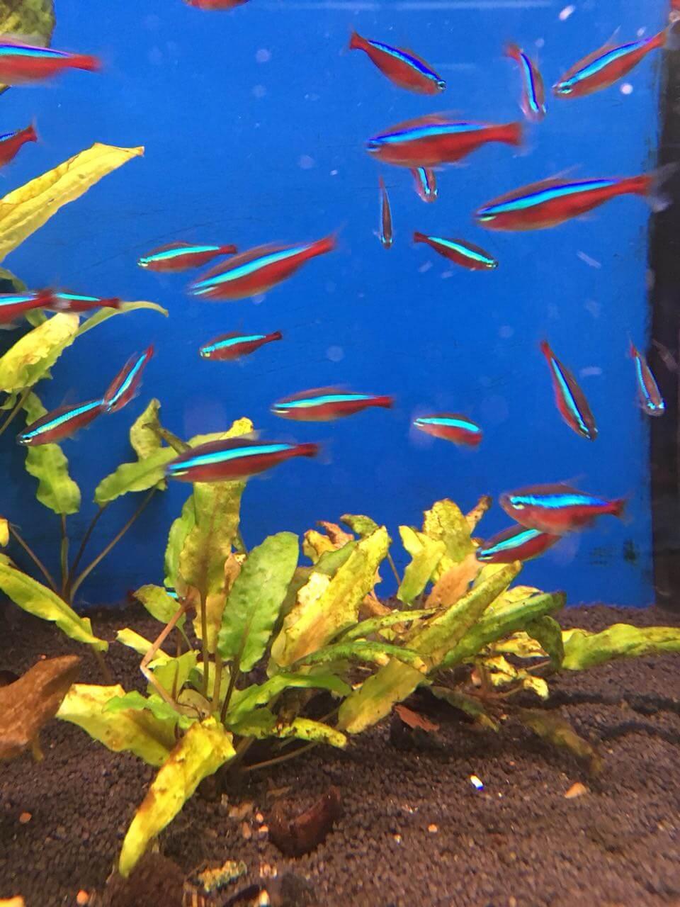 Roter Neon aus der Gruppe der salmartigen Fische
