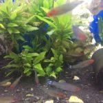 Der Rotnasensalmler in deinem Aquarium